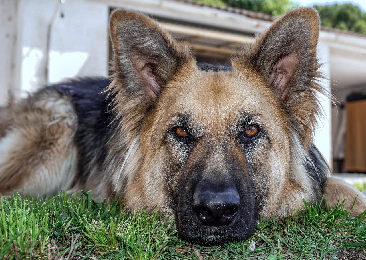 Cane di razza pastore tedesco