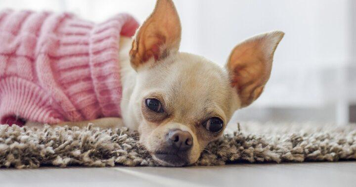 Chihuahua vaccinato