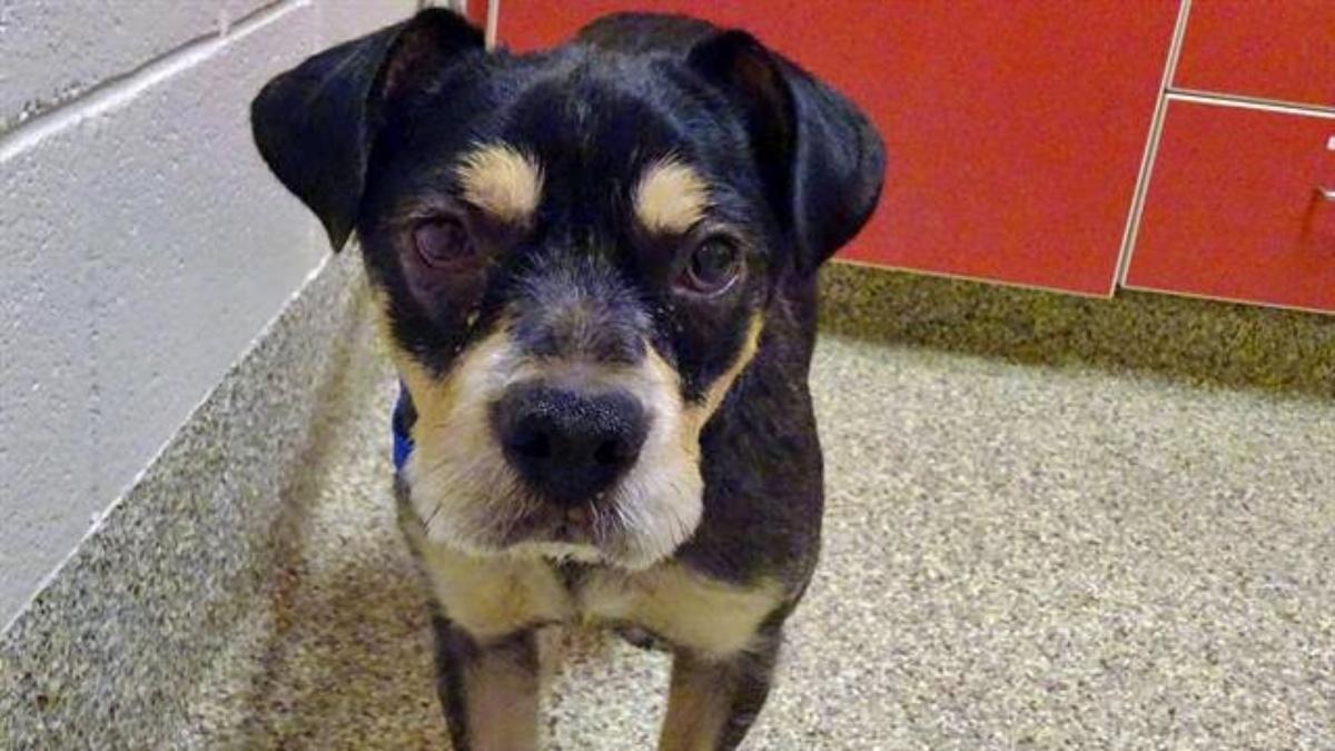 Cooper, il cane vittima di maltrattamenti
