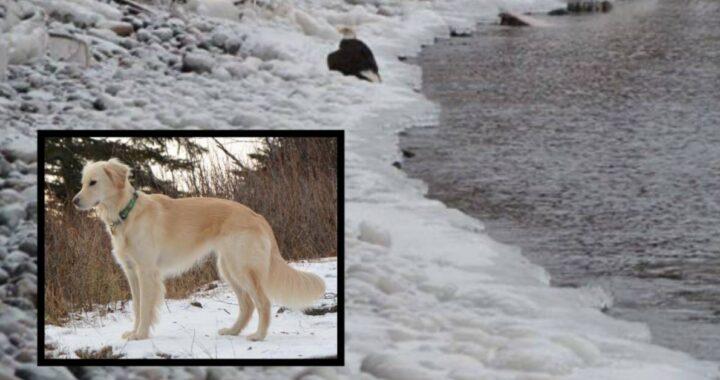 Cucciolo di Golden Retriever nota che il povero animale era in difficoltà e decide di intervenire