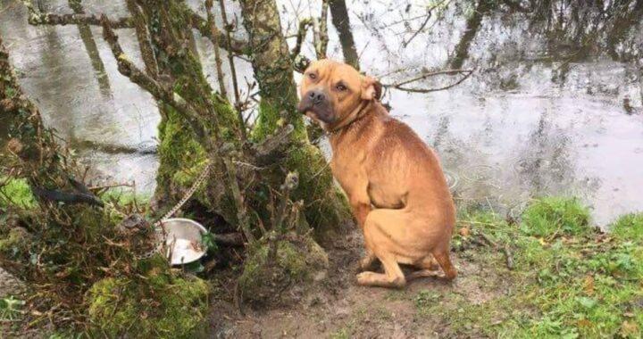 Cucciolo di pitbull trovato incatenato in mezzo al nulla era terrorizzato e non si faceva avvicinare. Il suo salvataggio stava per finire male poi la svolta