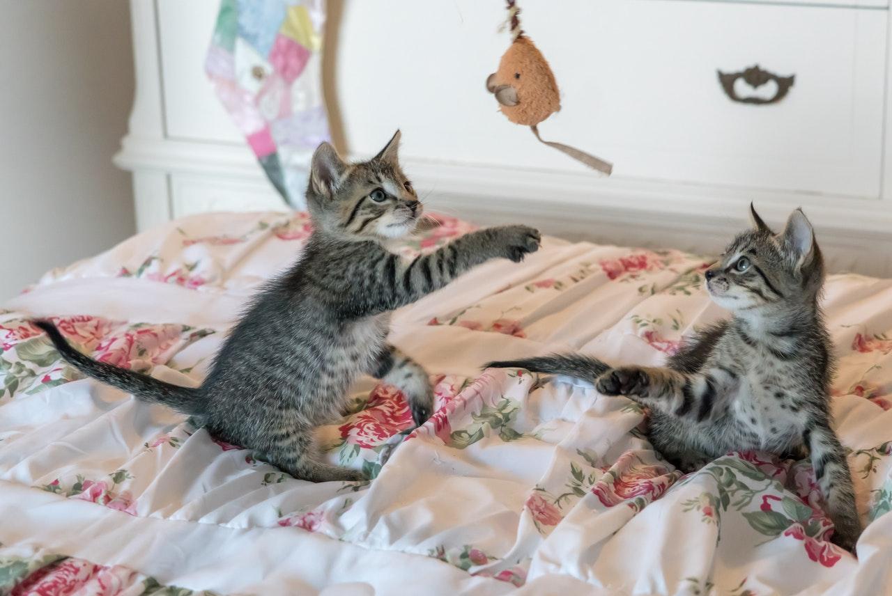 gatti-giocano