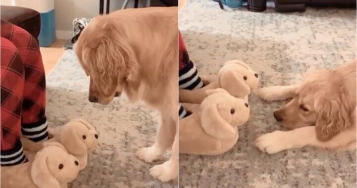 Cucciolo di golden retriever non riesce a decidere: le pantofole della mamma sono veri cani o impostori?