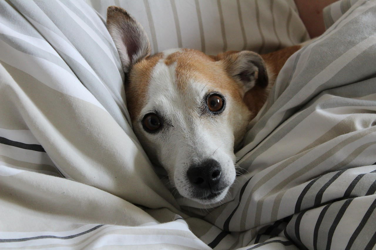 Jack Russell muore