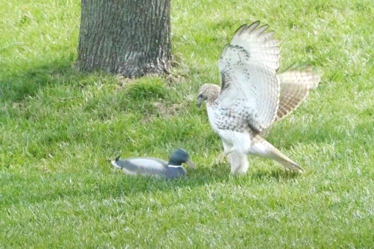 Falco cerca di agguantare la preda