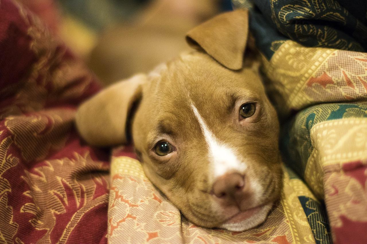 Scout salvano il cucciolo disabile di pitbull