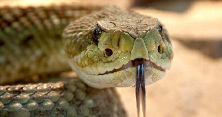 Un cucciolo ha quasi perso la vita dopo un incontro sfortunato con un serpente velenoso: il racconto dei proprietari