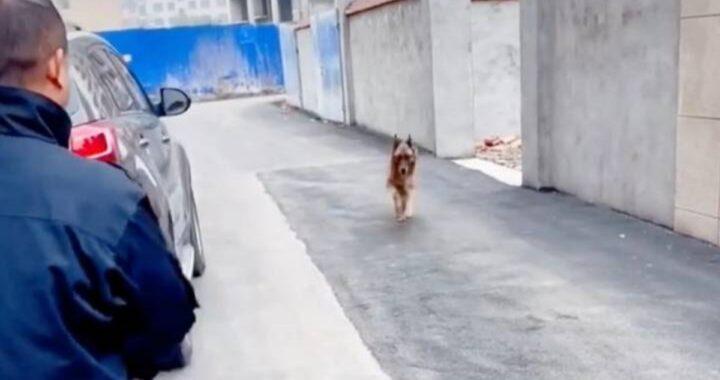 Poliziotto decide di fare una sorpresa al suo ex collega a quattro zampe in pensione. Guardate cosa fa il cane quando lo vede