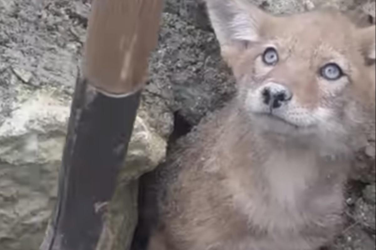 Operai salvano un piccolo coyote incastrato sotto terra