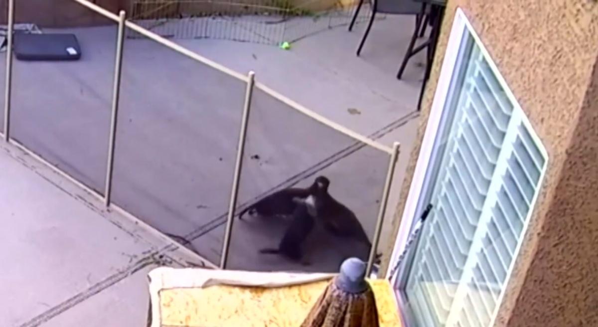 Falco aggredisce il cagnolino Lulu