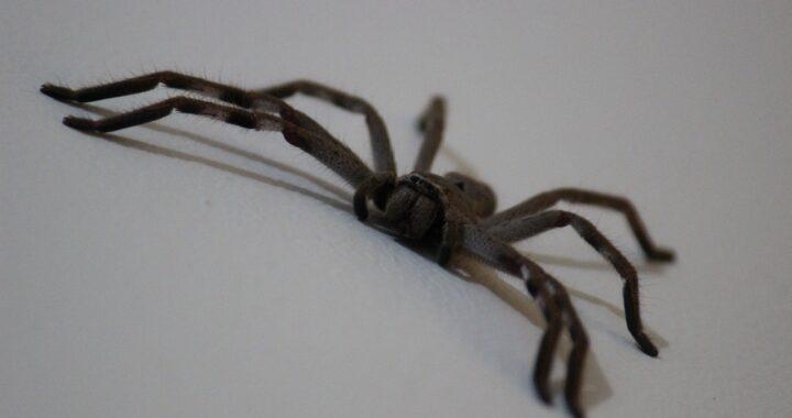 Donna ha un sangue freddo pazzesco quando scopre a casa sua un ragno gigante con i suoi figli. VIDEO non consigliato ai più deboli di cuore