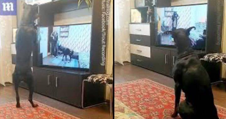 Adorabile cucciolo di dobermann si allena ogni giorno: il video diventa virale