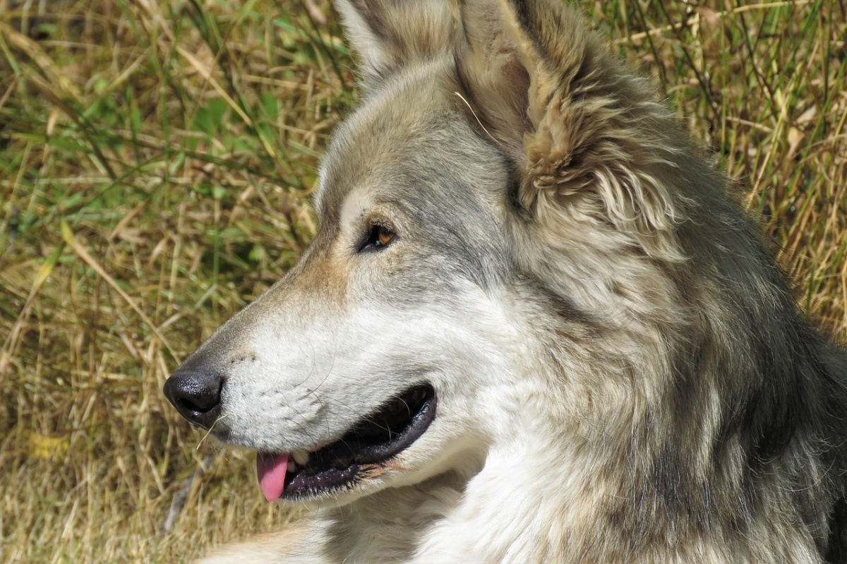 Bambina 11 anni aggredita da un cane lupo