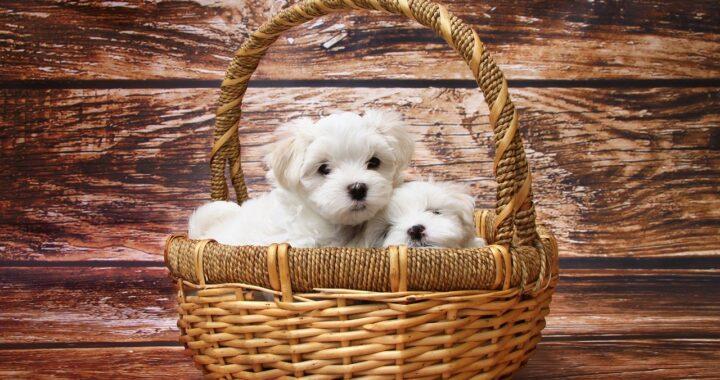 Cuccioli dell'est in uno scatolone