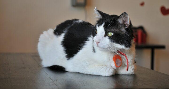 Gatto con 7 cuori sulla pelliccia