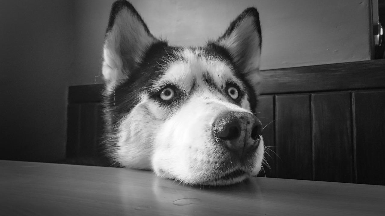 Husky paga il fattorino dell'acqua