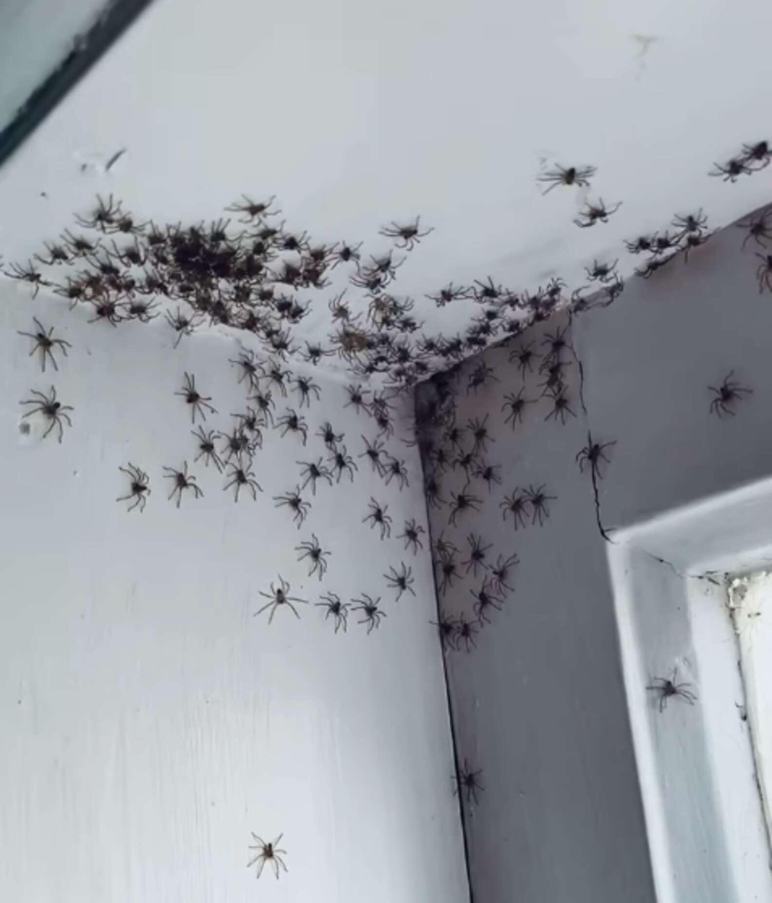 Famiglia di aracnidi in casa