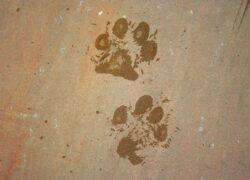 Strisce pedonali per cani