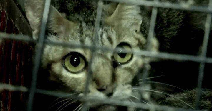 Agenti di polizia trovano 300 gatti in condizioni molto gravi: il loro umano li ha abbandonati a causa della pandemia