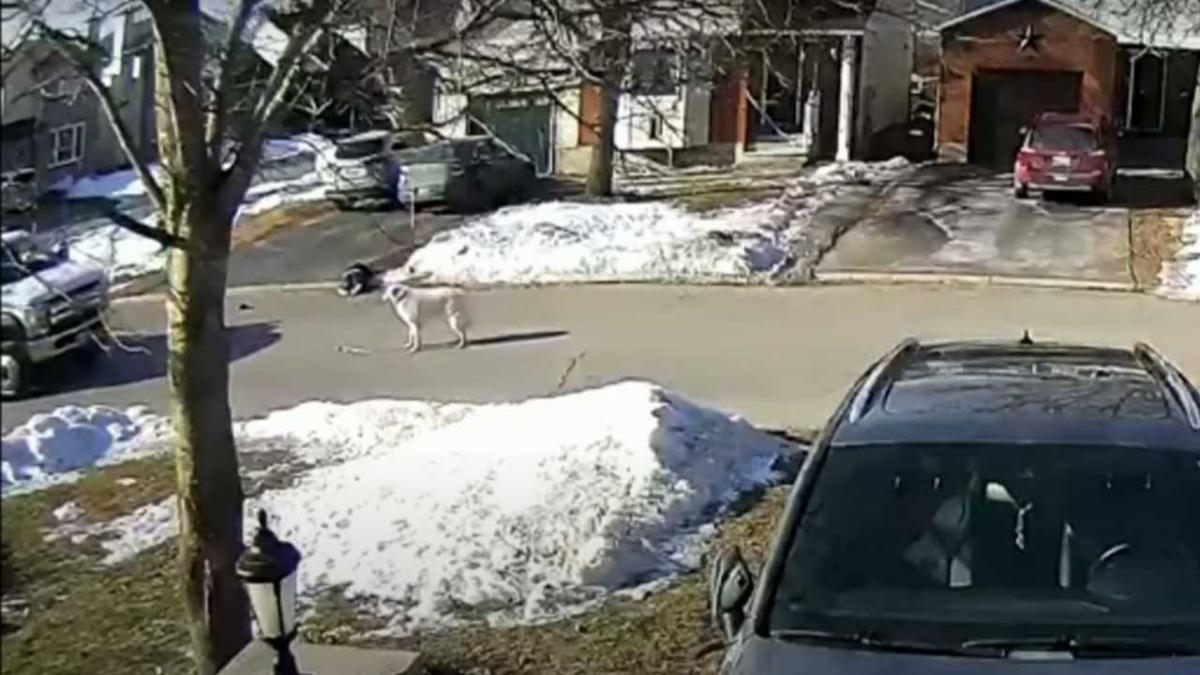 (VIDEO) La proprietaria si sente male in mezzo alla strada, il cane ferma le macchine e cerca di proteggerla