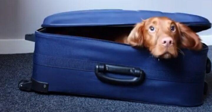 Cocker spaniel vede la valigia del suo proprietario vuota e si infila dentro preoccupato di perdere il posto per colpa dei vestiti (VIDEO)