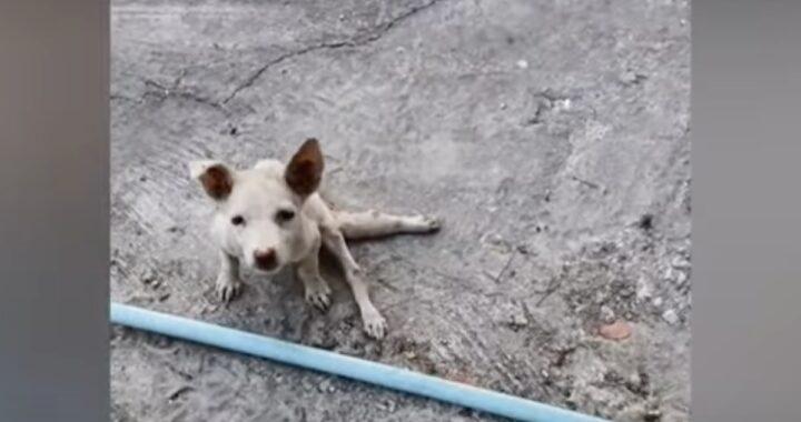 Il salvataggio di un povero cucciolo paralizzato