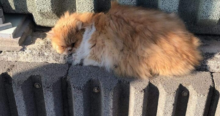 Ritrovato il gatto Grisù