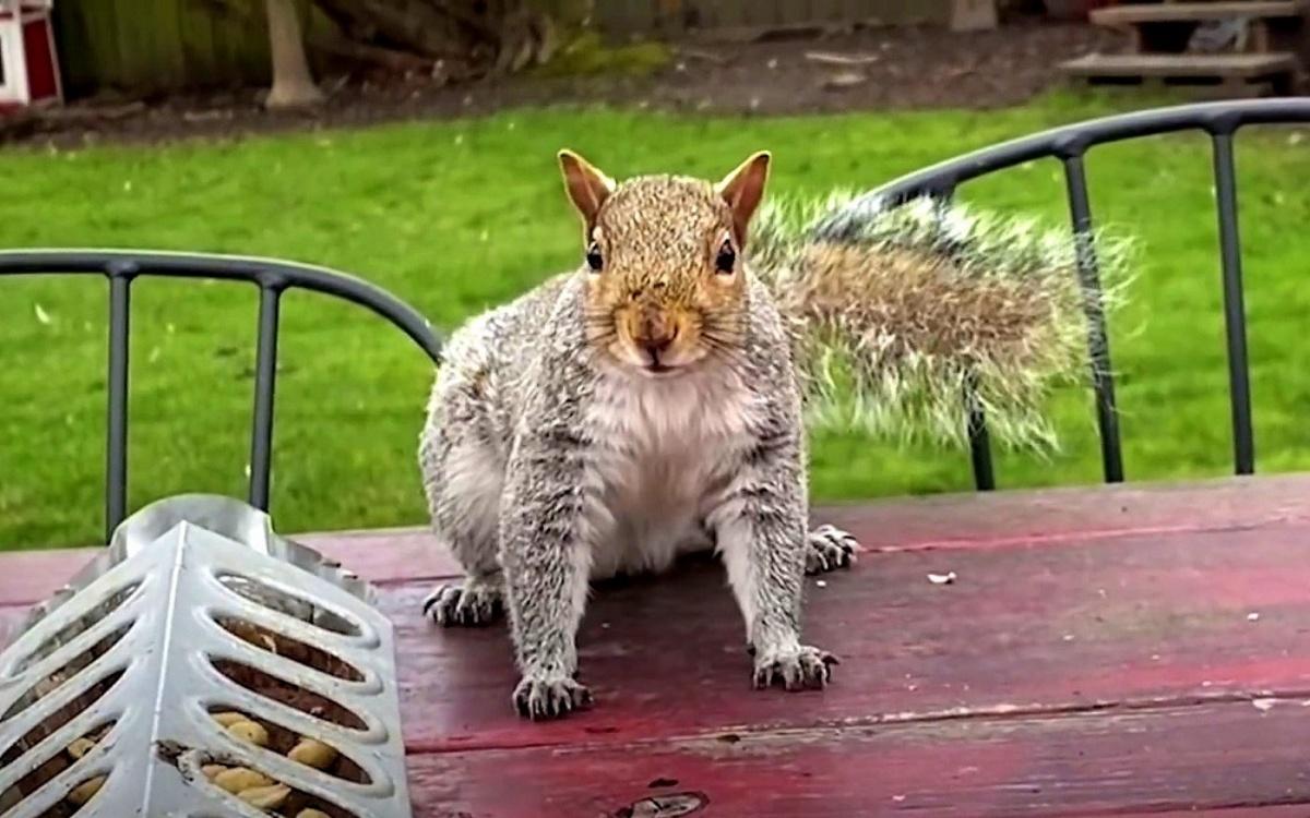 Il salvataggio dello scoiattolo Steve