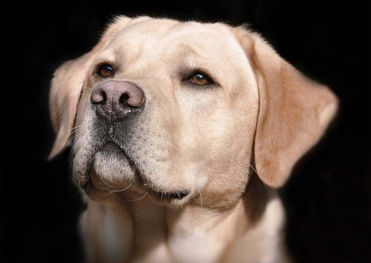 Bimba salva il Labrador