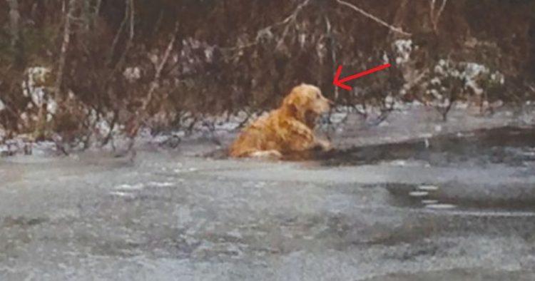 Golden Retriever nel ghiaccio