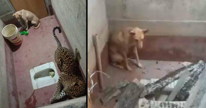 Cane randagio entra in un bagno pubblico e rimane intrappolato insieme a un leopardo