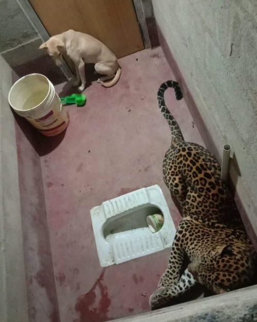 Bollu in trappola con l'animale selvativo