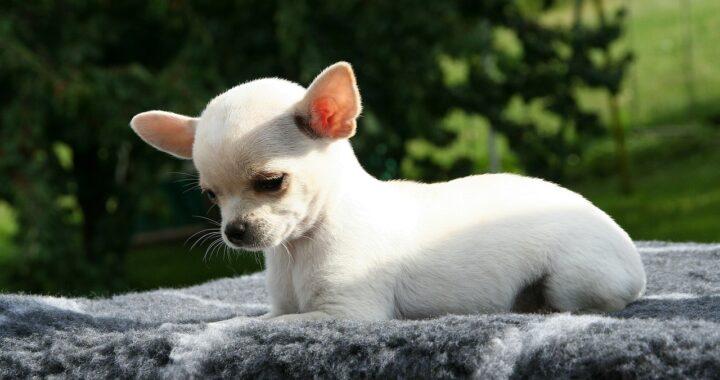 Chihuahua malata di cuore