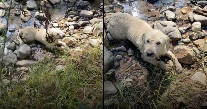 Cucciolo paralizzato lasciato morire nel letto del fiume. Una donna si accorge di lui e tutto cambia