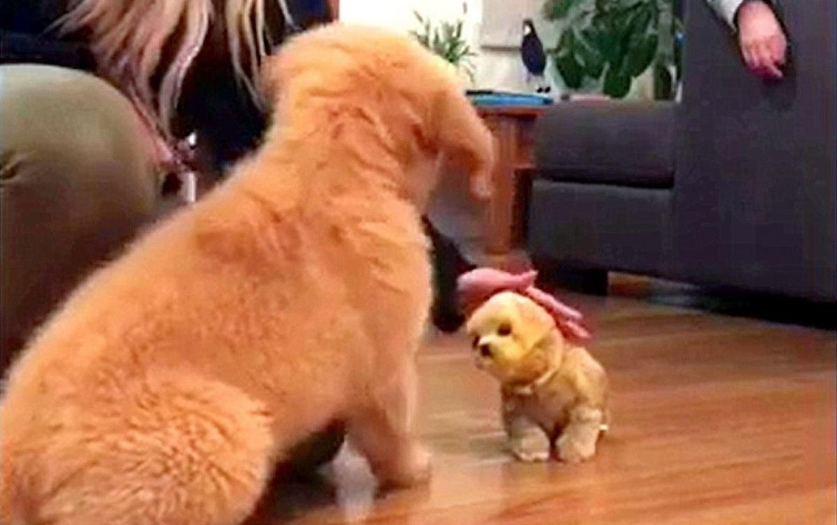 Il simpatico video del cucciolo di Golden Retriever