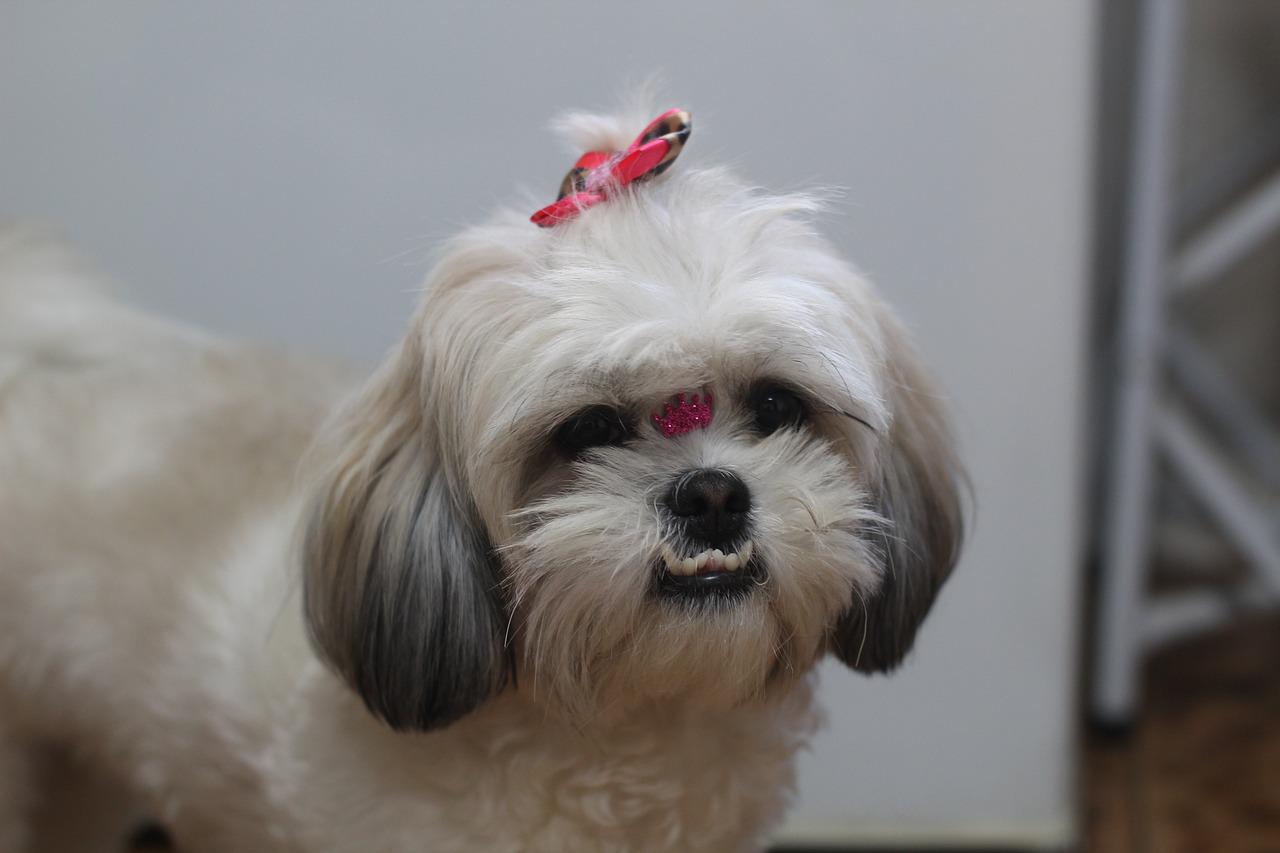 Cucciolo di Shih Tzu sorride