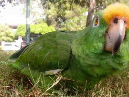 Il pappagallo di nome Vitricio