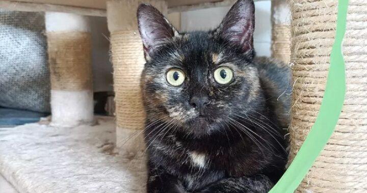 gatto con coda paralizzata