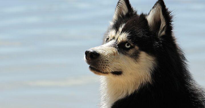 Husky sepolto vivo dai ladri entrati in casa sua per rubare