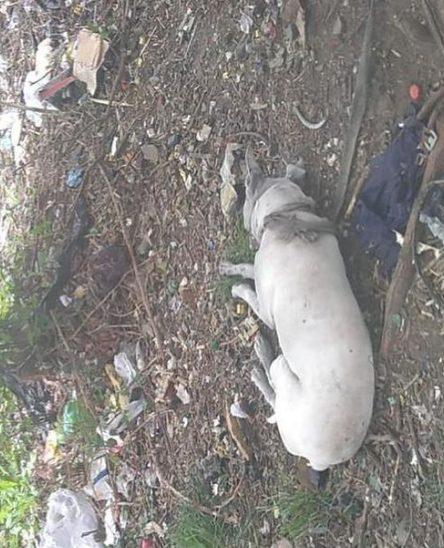 Dogo argentino abbandonato