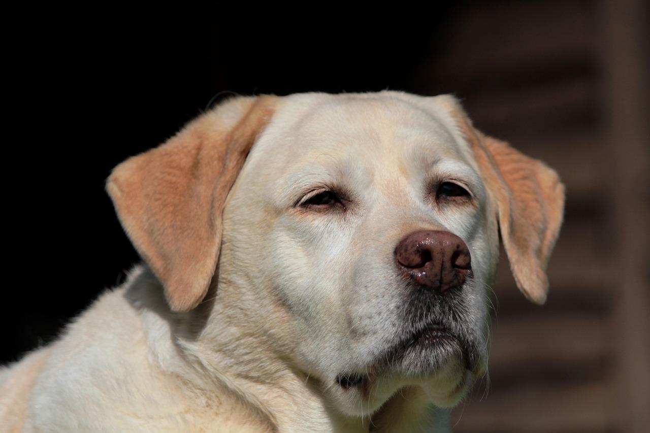 Labrador finge di svenire