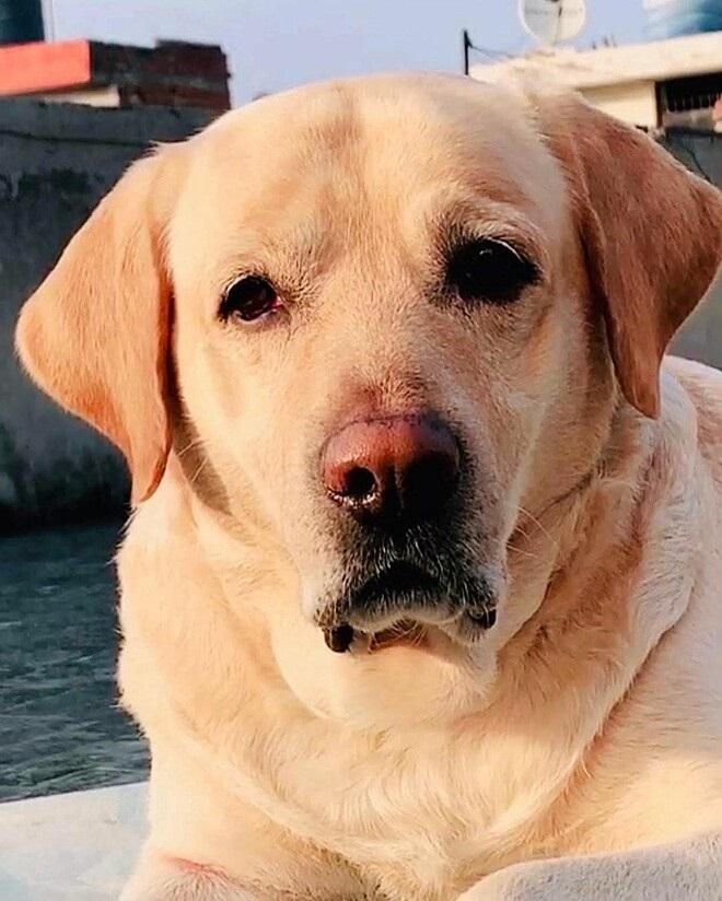 Jack il Labrador