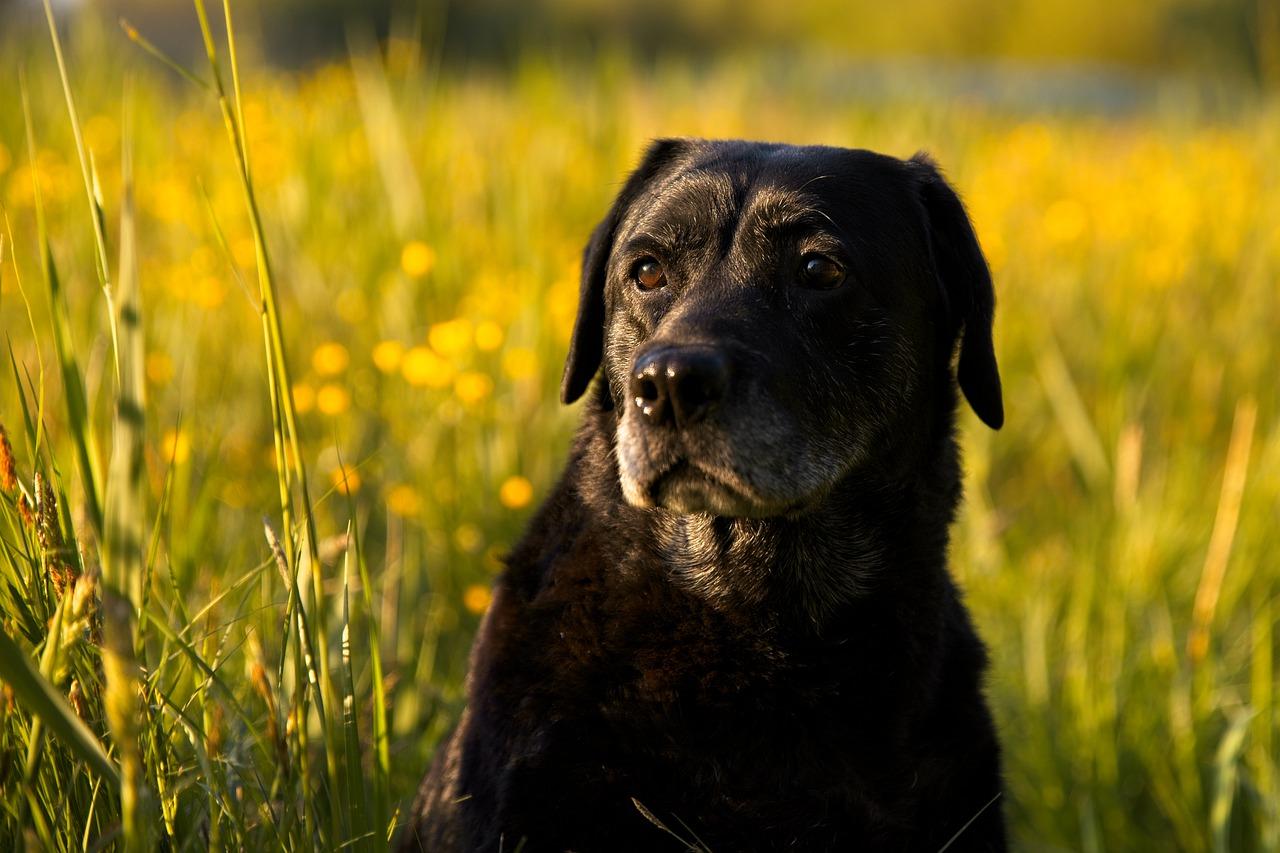 Labrador non lascia il proprietario