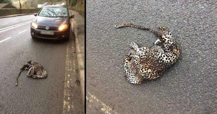 Trova un leopardo ferito in strada e ferma la macchina per aiutarlo ma avvicinandosi capisce di aver fatto un errore