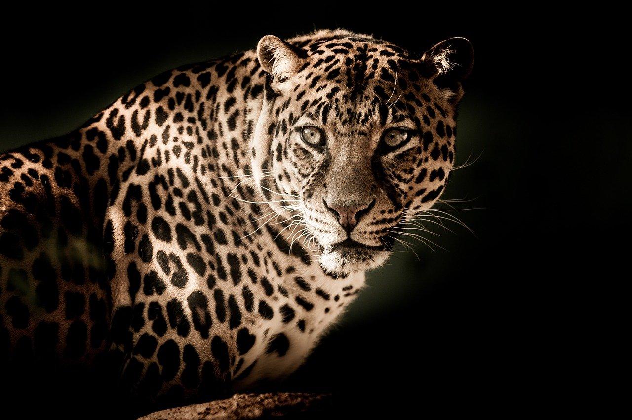 Leopardo ferito in strada