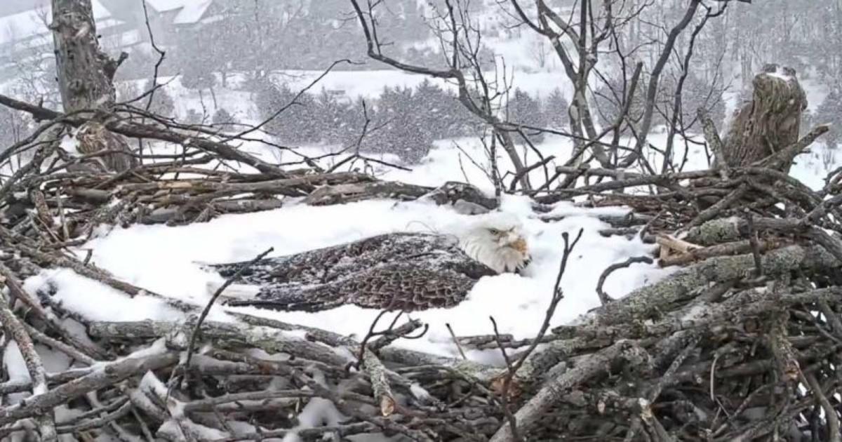 Mamma aquila protegge le sue uova anche con la neve