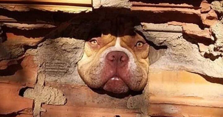 """Il vicino """"denuncia"""" il pitbull """"pettegolo"""" che lo spia attraverso il muro mandando loro le prove. Le foto sono dolcissime"""