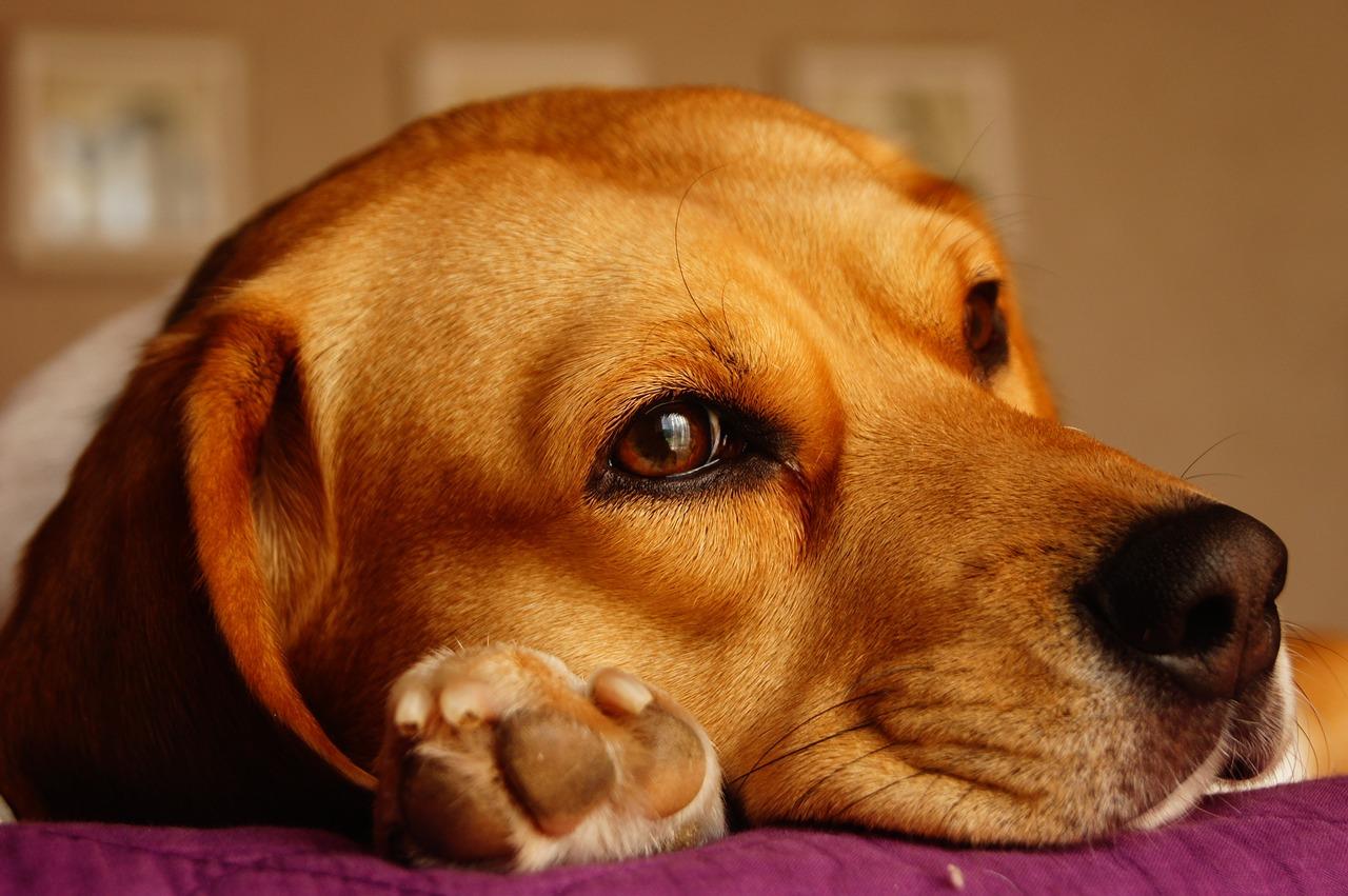 Beagle nascosto