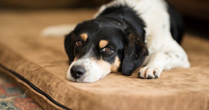 Tracheite nel cane: come riconoscerla e come curarla