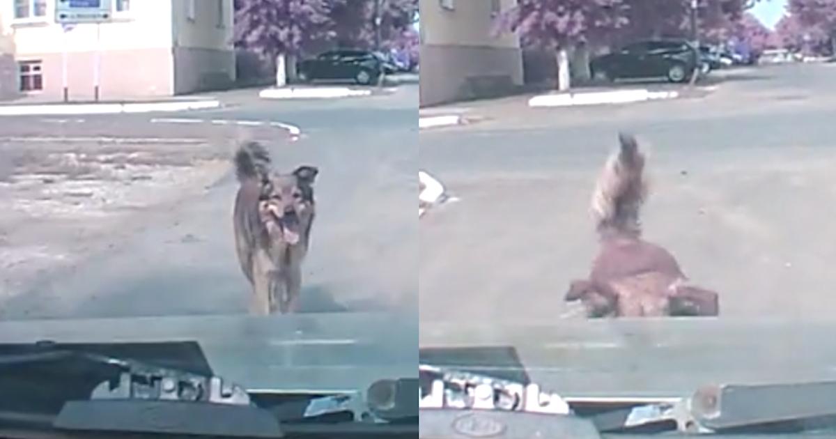 Il video del cane prima dell'incidente